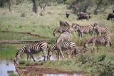 zebras in south africa - 223528985
