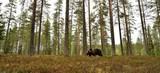 bear in forest scenery - 223531777
