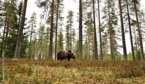 niedźwiedź brunatny w leśnej scenerii