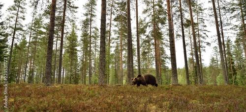 niedźwiedź w leśnej scenerii