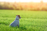 Jack russel terrier on green field. Happy Dog with serious gaze - 223532385