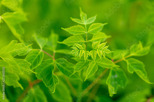 Green leaves on a tree as a background - 223563550