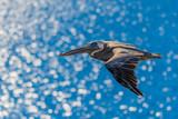 Pelican in flight over blue ocean