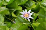 lotus amonng lotus leaves