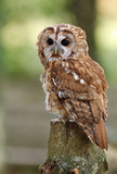 Portrait of a Tawny Owl in woodland - 223580312