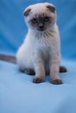 kitten cat scottish straight, lop-eared fluffy, animal tree autumn