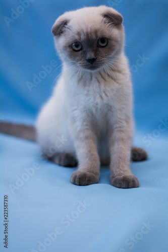 kitten cat scottish straight, lop-eared fluffy, animal tree autumn