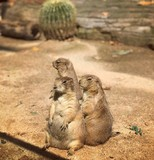 Prairie dogs band cover - 223601318
