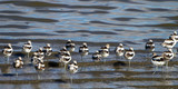 A flock of American Avocets in non-breeding plumage rest and move around in autumn on the shore of Antelope Island State Park, which is surrounded by Utah's Great Salt Lake