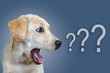 canvas print picture - dog surprised on blue background, question mark