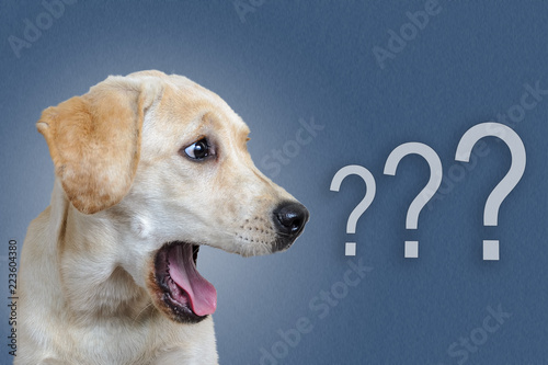canvas print picture dog surprised on blue background, question mark