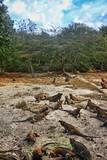 A flock of iguanas - 223613197