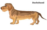 Colored decorative standing portrait of Dachshund (wire-haired)