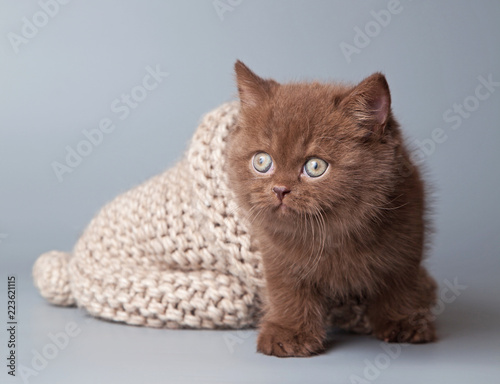 British shorthair kitten, brown, on a gray background, with a hat. Studio.