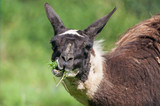 Close-up of lama chewing grass on pasture - 223626136