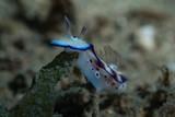 Hypselodoris tryoni Nudibranch