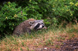 A raccoon waits in the bushes on Montreal