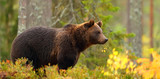 Side view of a brown bear in a forest - 223653381