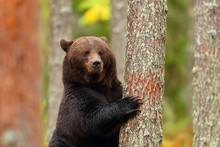 "Постер, картина, фотообои ""Brown bear standing leaning in a tree of a forest"""