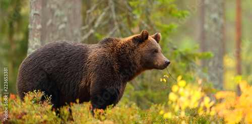 Leinwandbild Motiv Side view of a brown bear in a forest