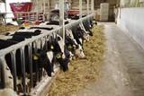 牛舎で牧草を食べる牛