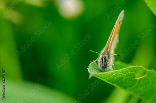 Butterfly meadow brown - 223668197