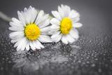 Daisy flowers reflection