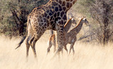 Adult giraffe with two young, in Namibia - 223671390