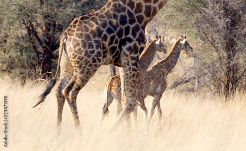 Fototapeta Adult giraffe with two young, in Namibia