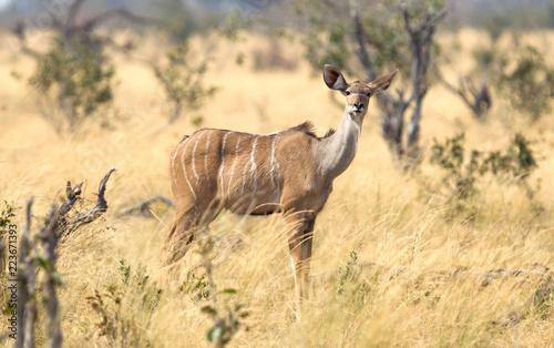 Female greater Kudu in Namibia