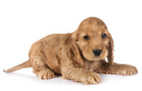 puppy cocker spaniel - 223671751