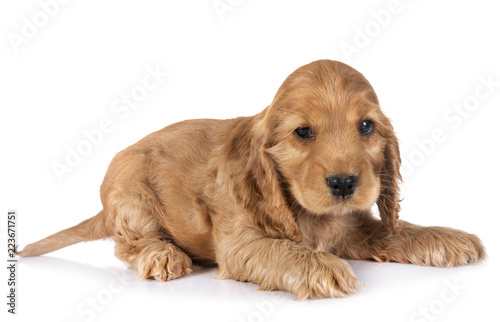 puppy cocker spaniel