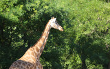big giraffe on natural park - 223673962