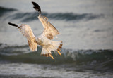 seagull flyies with two big wings - 223675367