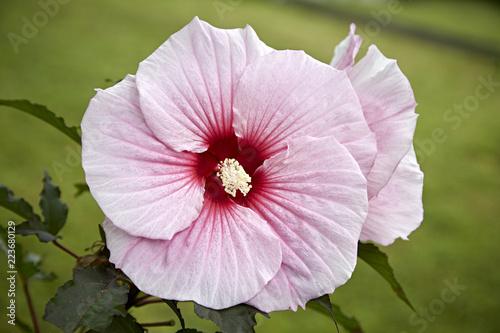 Blume blühen rosa Blüte Makro - 223680129