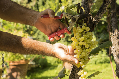 harvest of grapes in a vineyard