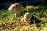 Ovulo di Amanita muscaria nel prato - 223694743