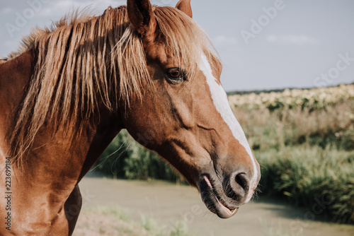 Leinwanddruck Bild selective focus of beautiful brown horse grazing on meadow in countryside