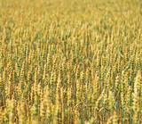 The field of wheat growing in a farm field. - 223704321