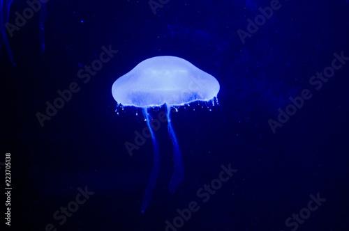 Fototapeta blue jellyfish in water