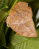 noble leafwing butterfly - 223717506