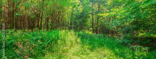 Pejzaż leśny panorama las oczyszczający młody las liściasty Europa Środkowa - panorama lasów krajobrazowych oczyszczająca młode lasy liściaste Europa Środkowa