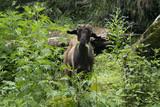 cabra goat nepal - 223735302