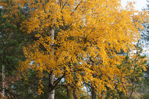 Birch at autumn yellow leaves - 223737597