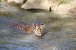 Tiger schwimmt im Wasser