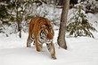 Tiger Hunrting in the Snow