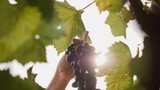 A female hand cuts a large clusters of dark grapes against a background of sunlight - 223769363