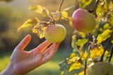 Female hands touching apple in orchard. Harvesting season.