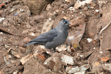 jackdaw bird  staying on rock looking for  something food
