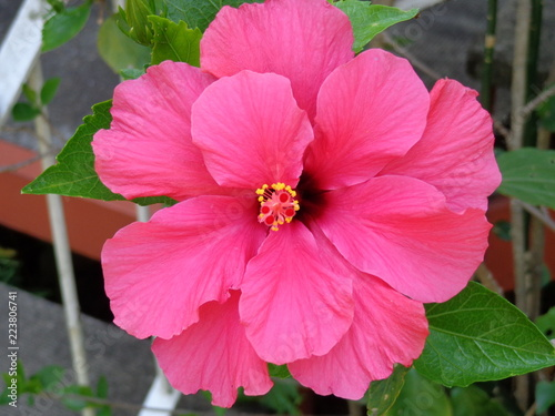 Pink Hibiscus in full bloom - 223806741